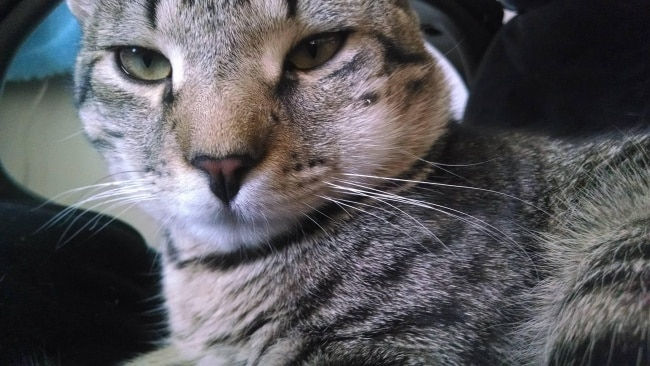 10 фото котов, проигравших схватку с пчелами рис 6