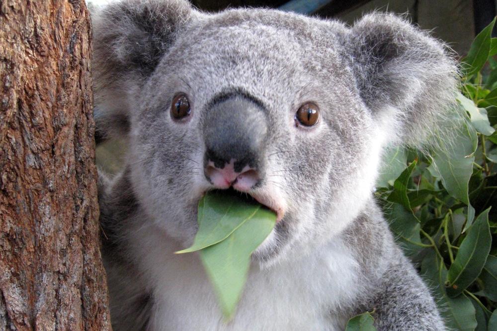 коала в шоке