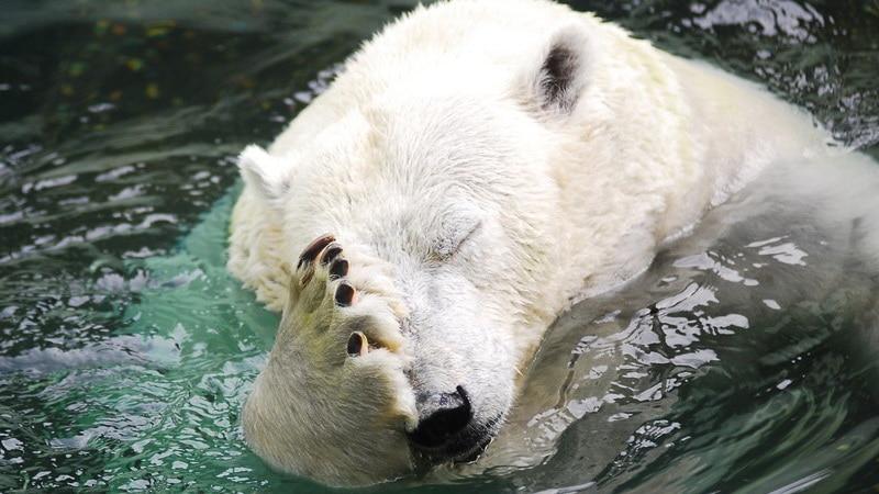 bear facepalm