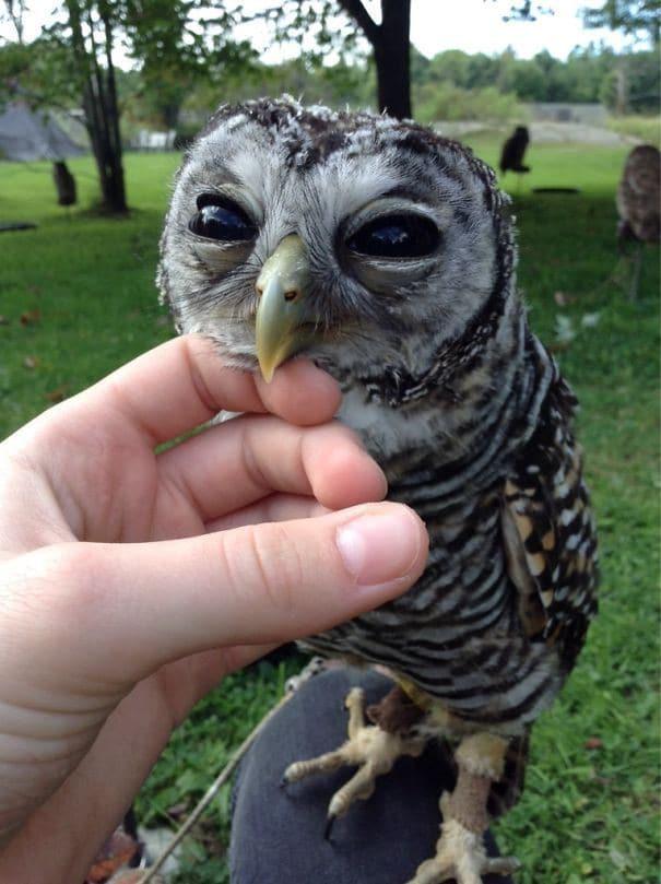 owl рис 2