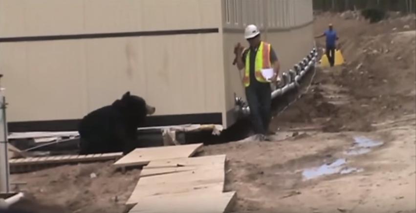 Bear prank