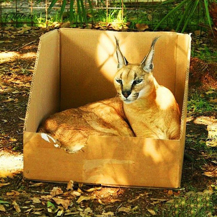Размер не имеет значения: кошки всегда остаются кошками рис 2