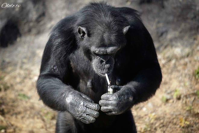 Курящая шимпанзе Азалия стала настоящей звездой Пьхеньянского зоопарка