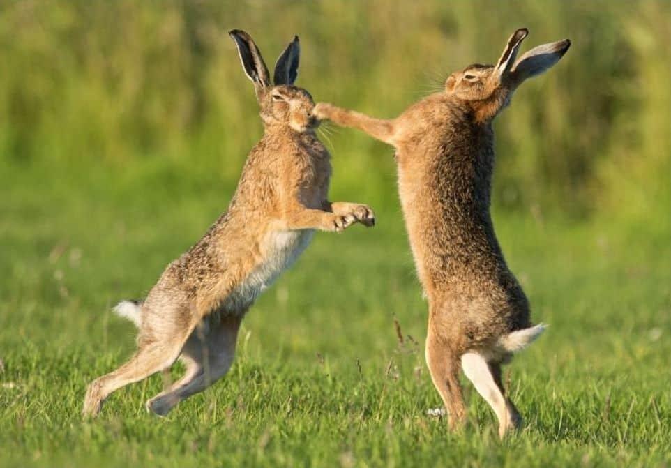 "Драка двух зайцев на ""Колыме"". Видео"