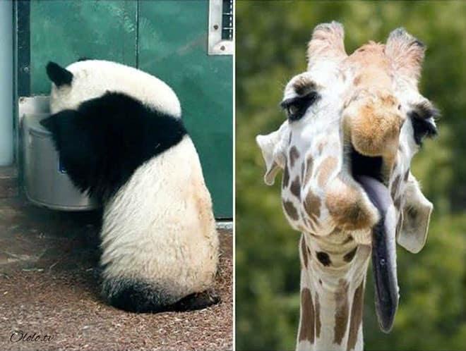 Фотографии животных, которые напоминают людей после бурных вечеринок рис 13