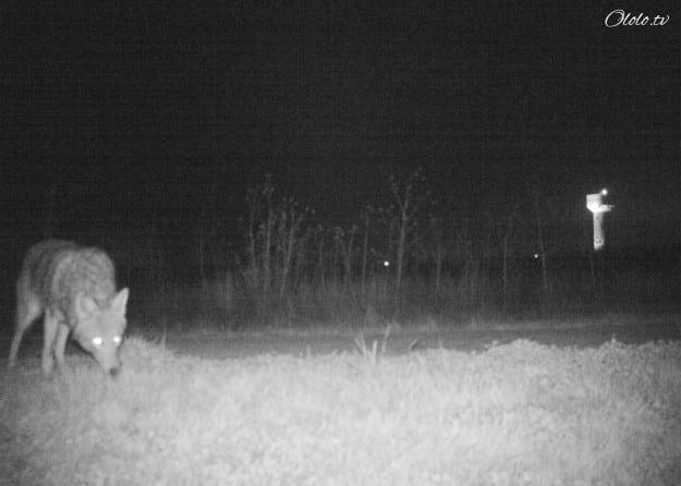 Полиция установила камеру ночного видения, чтобы найти пуму, но ситуация вышла из-под контроля рис 2
