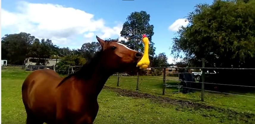 Этот конь и его первое знакомство с резиновой кричащей курицей сделают ваш день!
