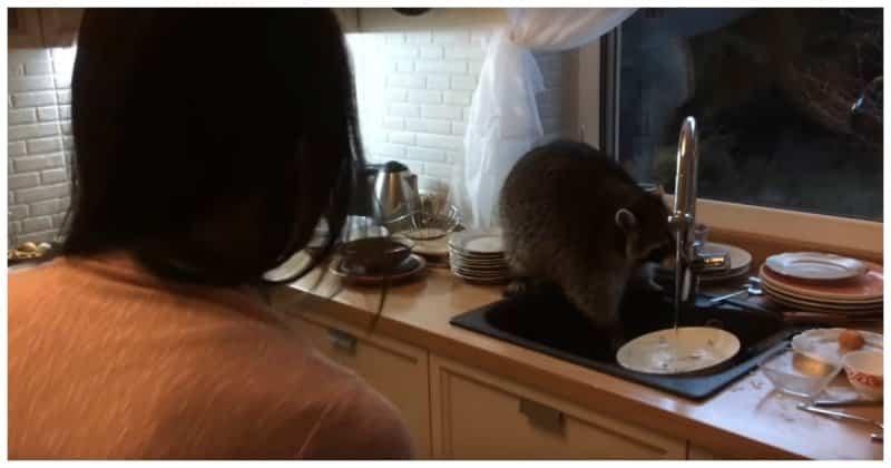 Енот залез в частный дом в Казахстане и перемыл гору посуды. Видео
