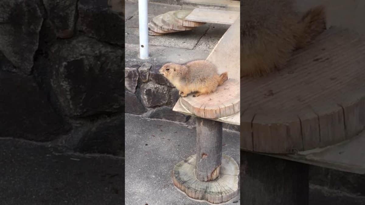Эпическая реакция луговой собачки на чихание человека. Видео