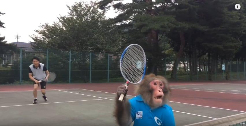 Японская макака - новая звезда мирового тенниса! Видео