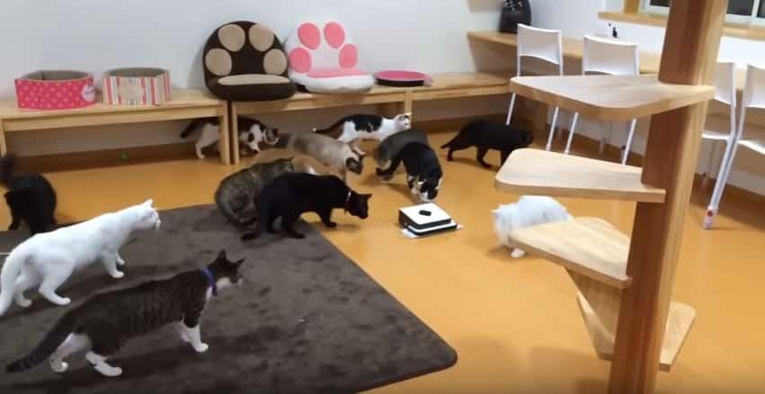 Любопытные кошки против робота-уборщика. Видео