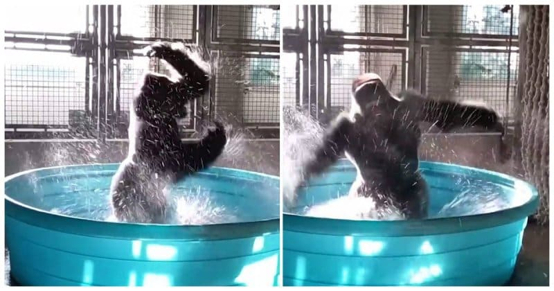 Горилла танцует зажигательный брейк данс в бассейне! Видео
