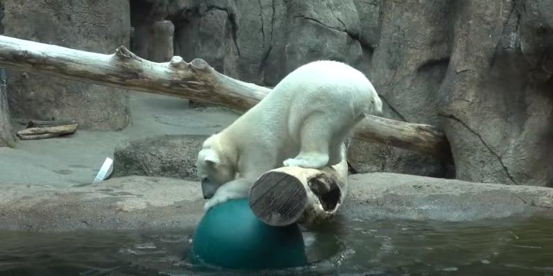 Неуклюжая полярная медведица не может поймать мяч. Видео