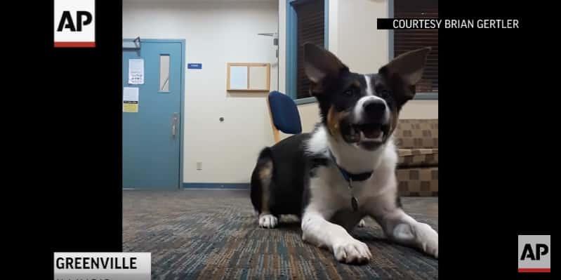 Хозяин научил своего пса лаять шепотом. Видео