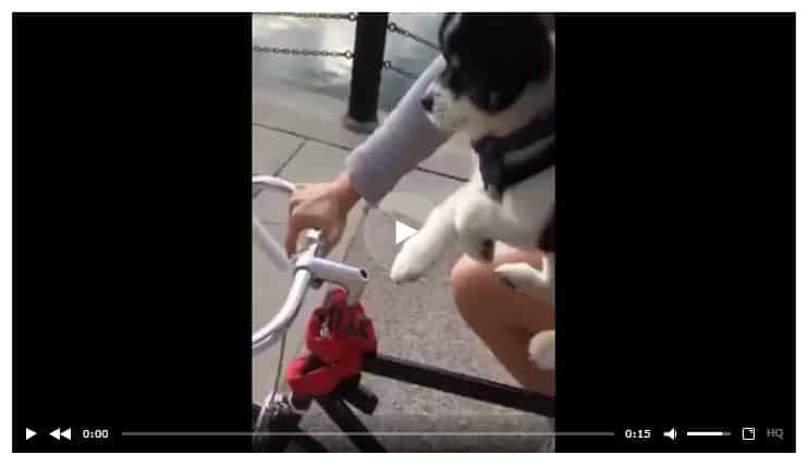 Этот крохотный щенок, хоть и не умеет кататься на велосипеде, но всё равно пытается помочь хозяйке крутить педали