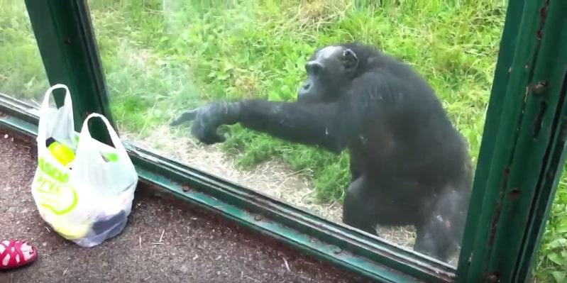 Крайне сообразительный шимпанзе жестами показал посетителям зоопарка, что хочет сладкой водички