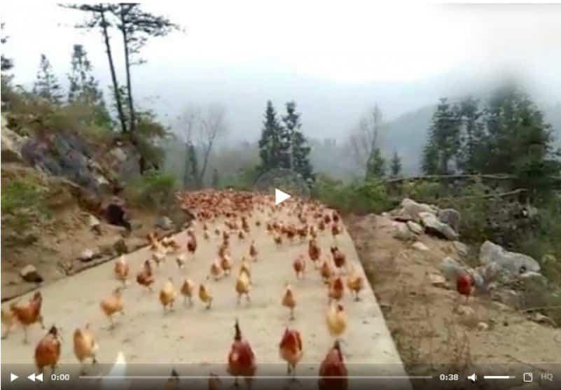 Фермер свистком сгоняет стаю кур на обед. Видео