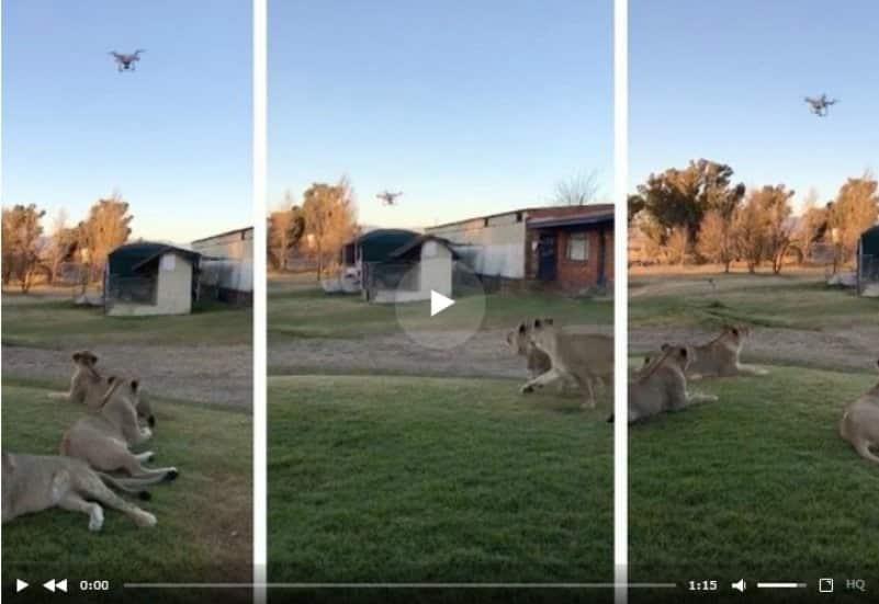 Молодые львы устроили охоту на дрон. Видео
