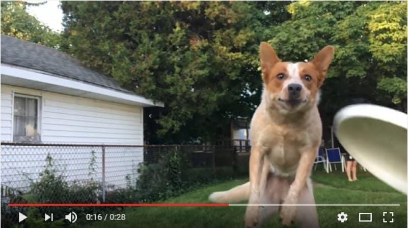 Попытка пса поймать тарелку фрисби закончилась эпичным столкновением с хозяином. Видео