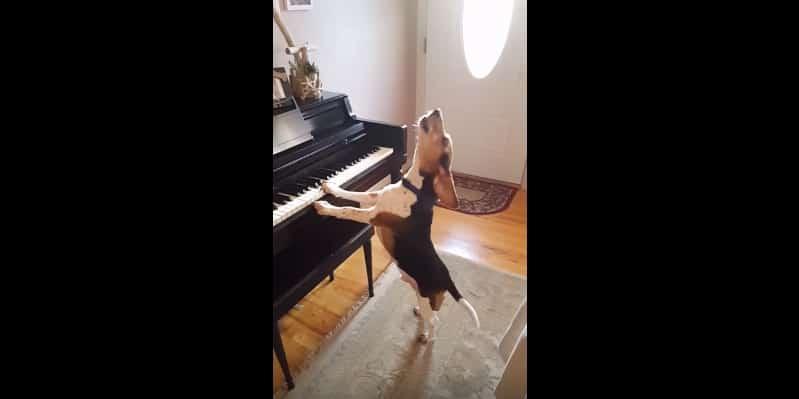 Собака играет на фортепиано и скулит. Видео