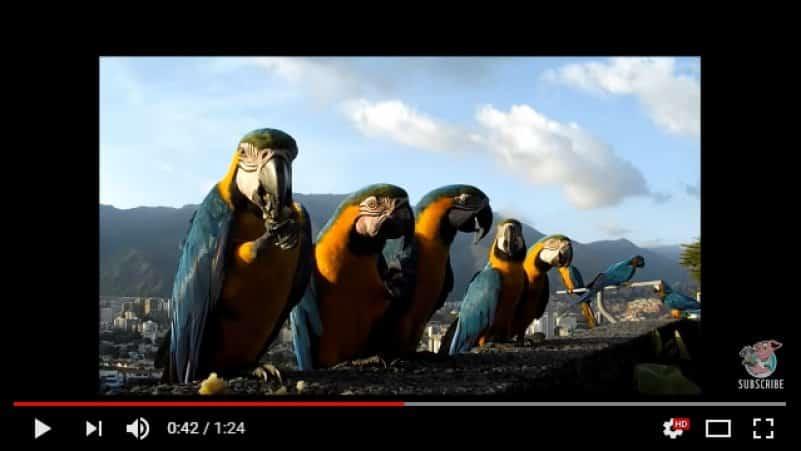 Венесуэльские дружелюбные голуби. Видео