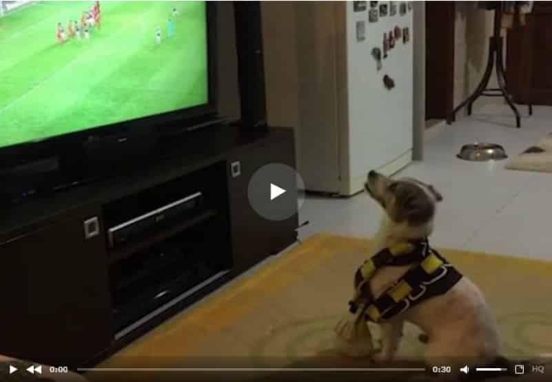 Четвероногий друг человека приходит в восторг, когда его любимая футбольная команда забивает гол