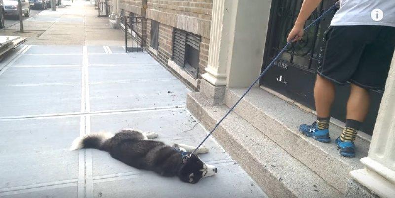 Не хочу домой, хочу гулять! Хаски не хочет идти домой с прогулки. Видео