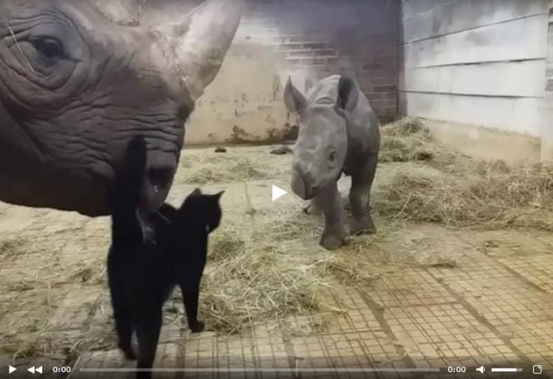 Котик пытается подружиться с семейством носорогов. Видео