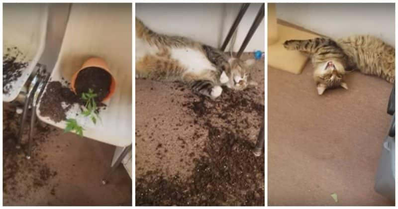Коты съели коноплю своей хозяйки и не смогли сбежать с места преступления