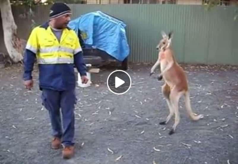 Дерзкий кенгуру решил помериться силами со строителем. Видео
