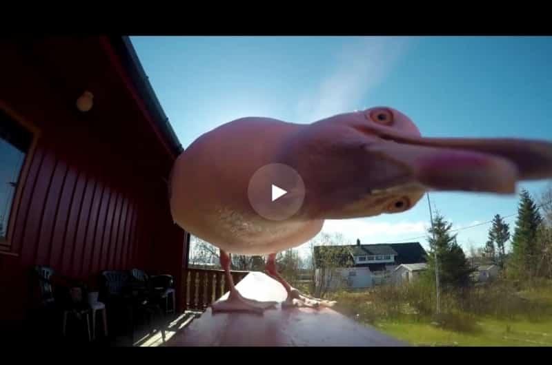 Чайка украла камеру у решившего покормить её мужчины. Видео