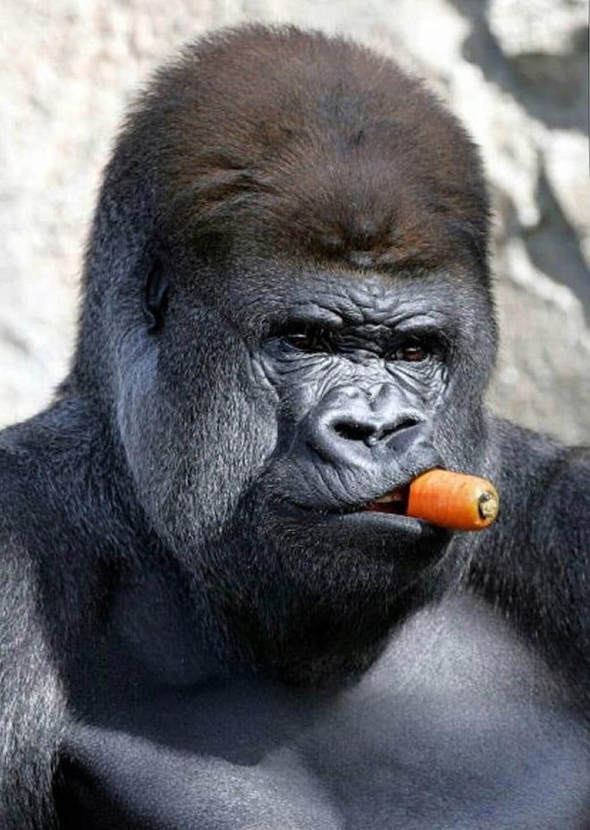 11 смешных снимков горилл, которых угостили морковкой!