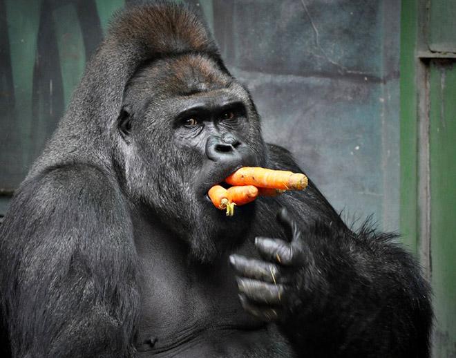 11 смешных снимков горилл, которых угостили морковкой! рис 2