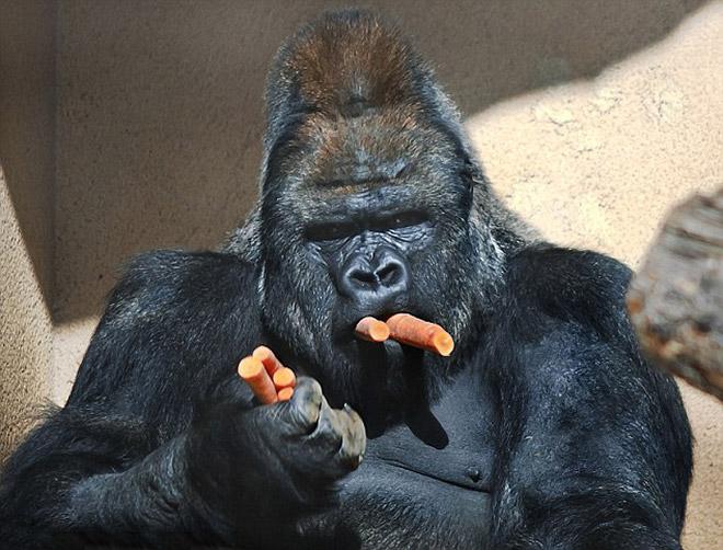 11 смешных снимков горилл, которых угостили морковкой! рис 8