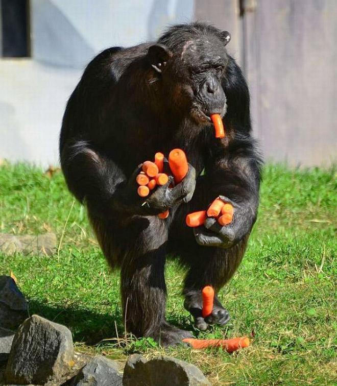 11 смешных снимков горилл, которых угостили морковкой! рис 7