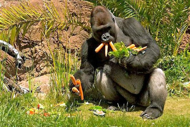 11 смешных снимков горилл, которых угостили морковкой! рис 6