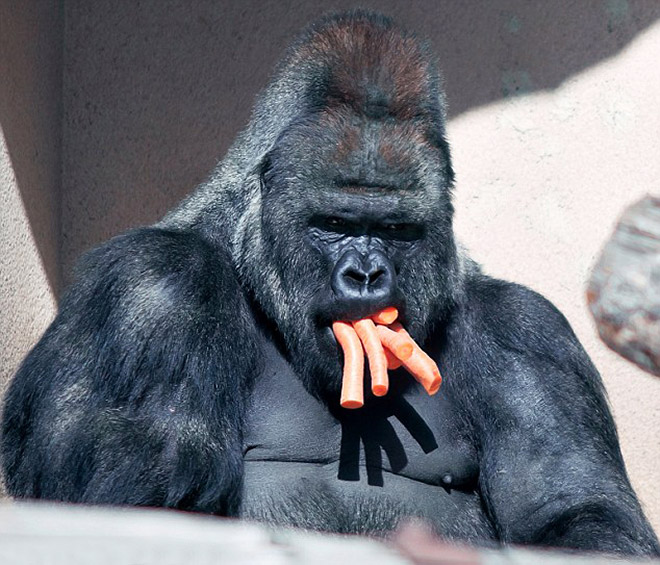 11 смешных снимков горилл, которых угостили морковкой! рис 4