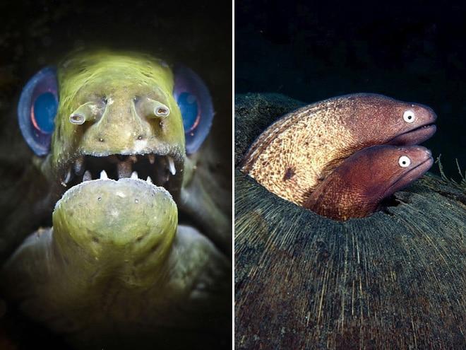 16 доказательств того, что мурены - самые смешные обитатели морей! рис 8