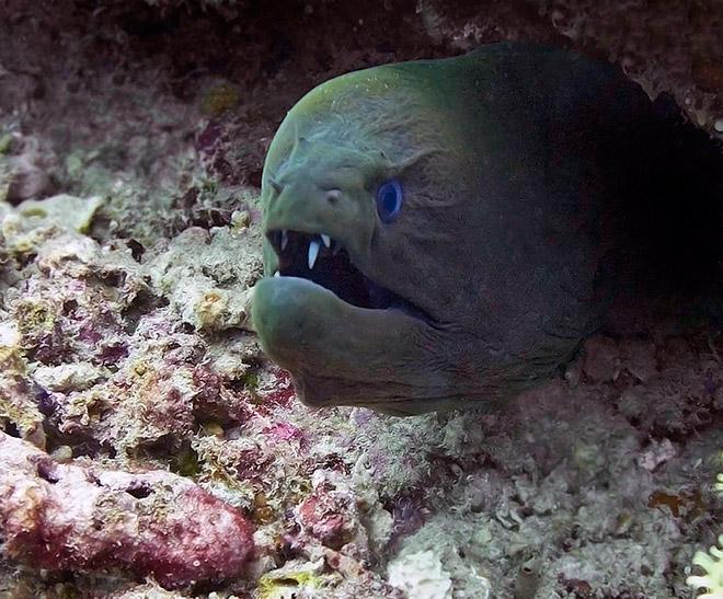 16 доказательств того, что мурены - самые смешные обитатели морей! рис 4