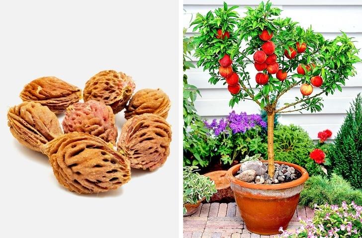 Как сажать персик из косточки дома 62