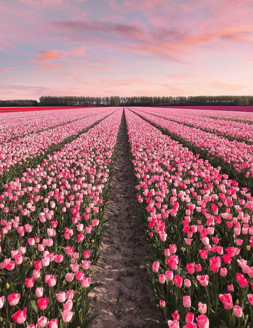 В Нидерландах зацвели 7 миллионов тюльпанов! Сказка, которую стоит увидеть! 7
