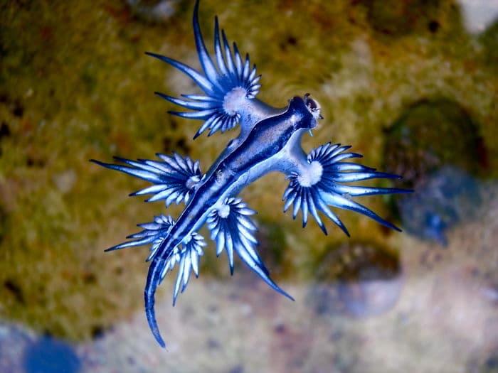 голубой дракон
