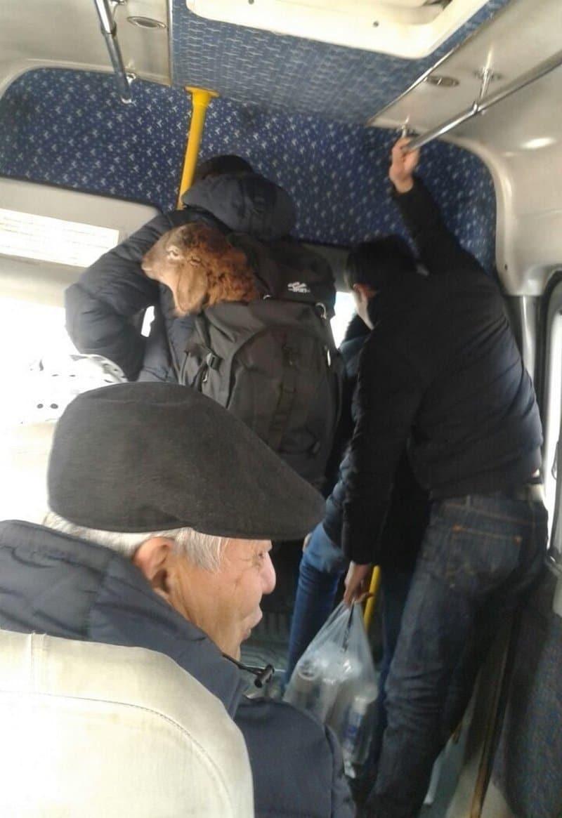баран в автобусе