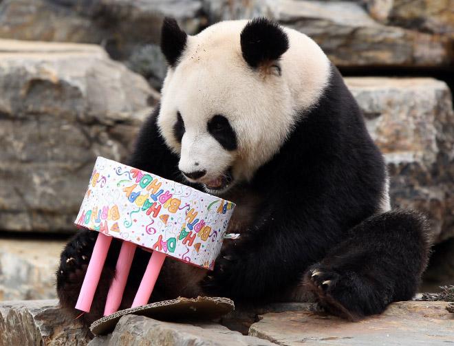 панды 20