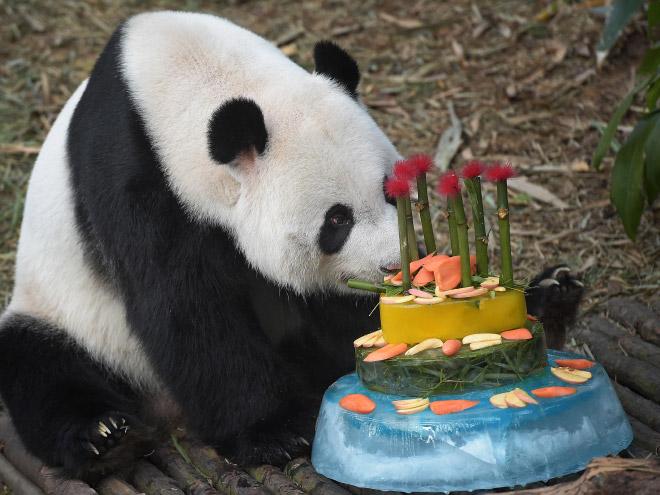 панды 8