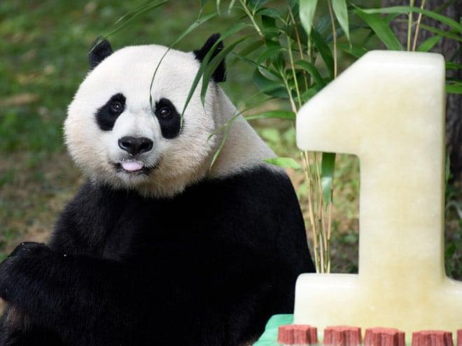 панды 16