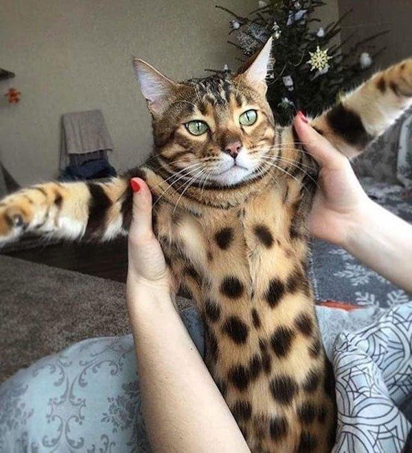 пятнистый кот