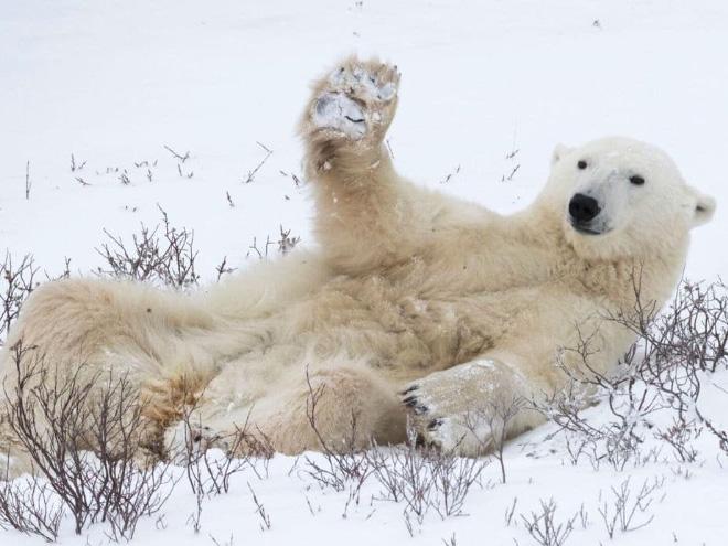 белый медведь рис 2