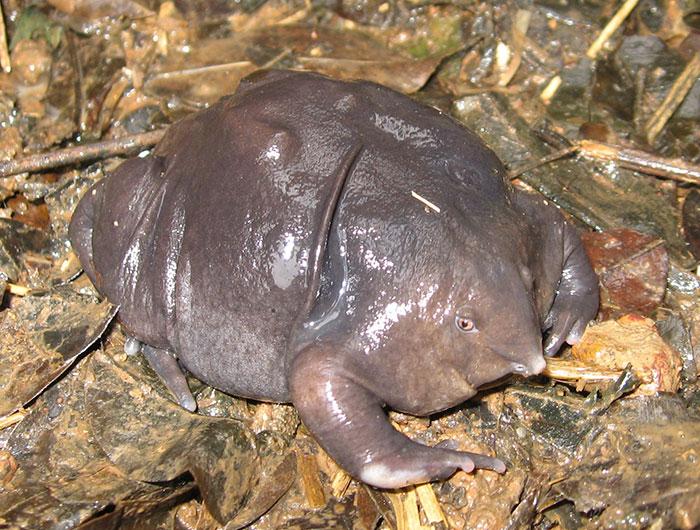 индийская пурпурная лягушка