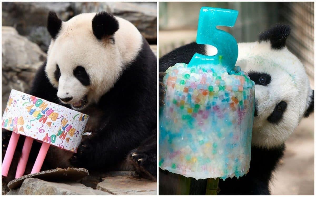 21 фото о том, как панды отмечают день рождения!